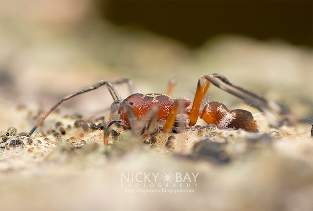 Ant-Like Sac Spider (Aetius sp.) - DSC_2254