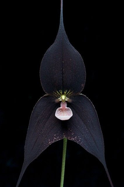 dracula raven orchid