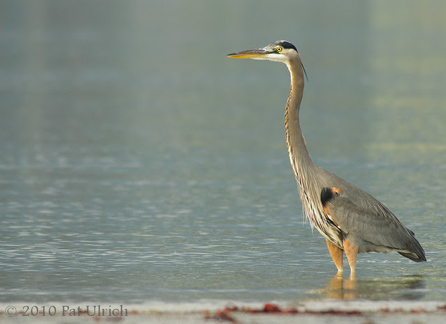 Great Blue Heron at Sunset -- Pat Ulrich Nature and Wildlife Photography