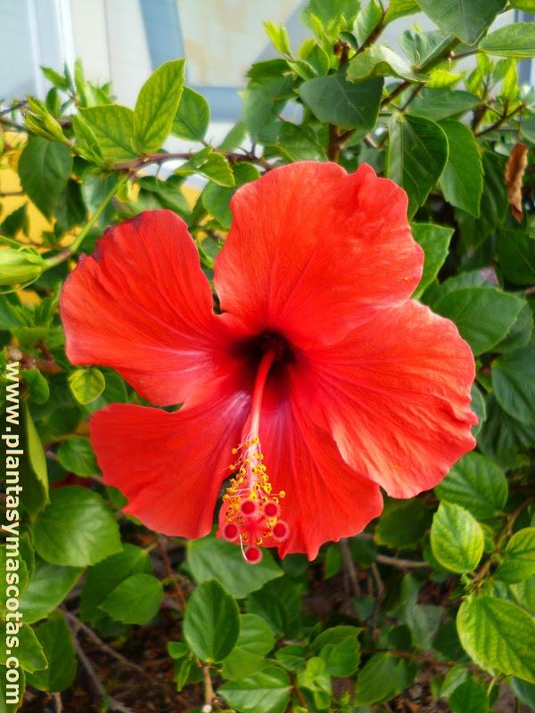 Hibisco O Cucarda Hibiscus Rosa Sinensis Plantas Y Mascotas