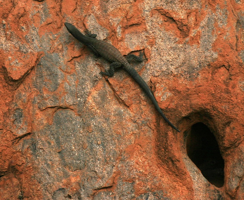 Blackheaded monitor