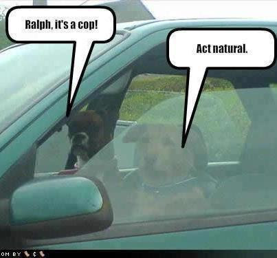 Funny photo captions dogs driving cop act natural
