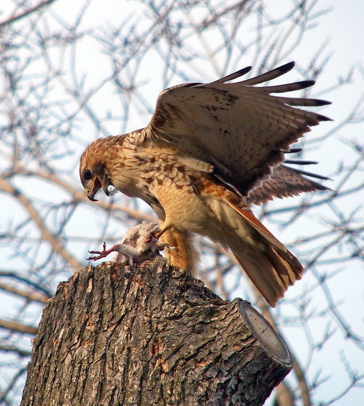Male red tail with pigeon in Tompkins Square