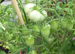 Tomatoes_71812c
