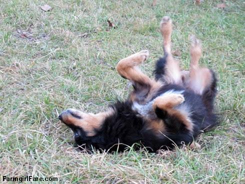 Lucky Buddy Bear, ace cattle dog (13) - FarmgirlFare.com