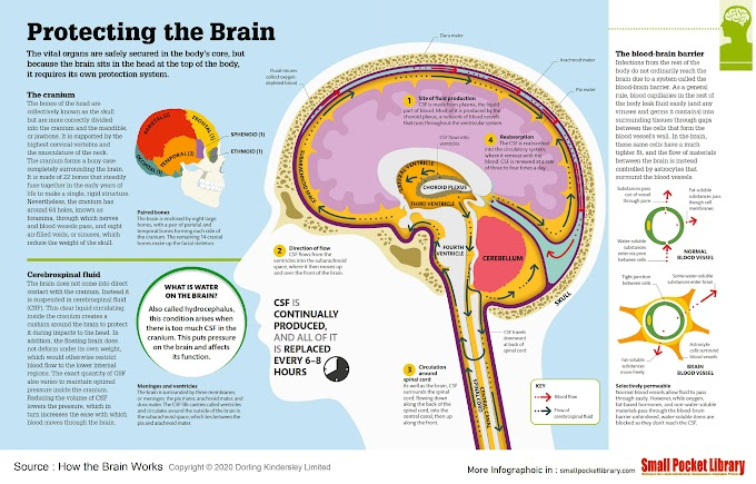 Infographic : Protecting the Brain