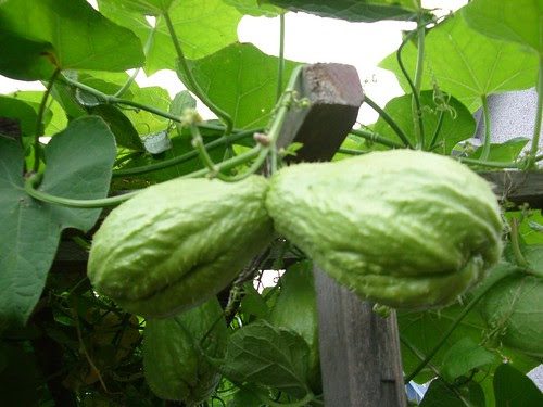 Mystery Vine (Identified: A Chayote)