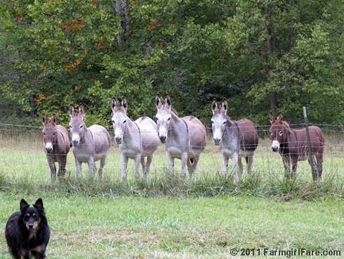 Unsmiling donkeys waiting for treats 1 - FarmgirlFare.com
