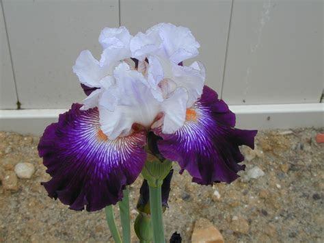 Irises cubit: Photos forum: Joe Ghio's Irises