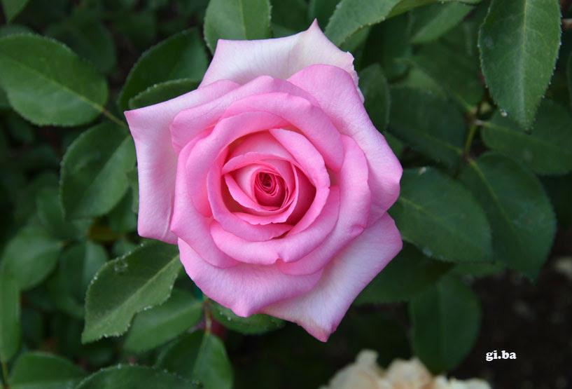 Una Rosa In Testa Spello Notizie