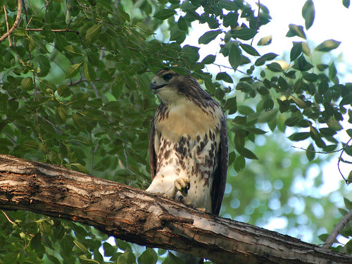 Red-Tail Fledgling
