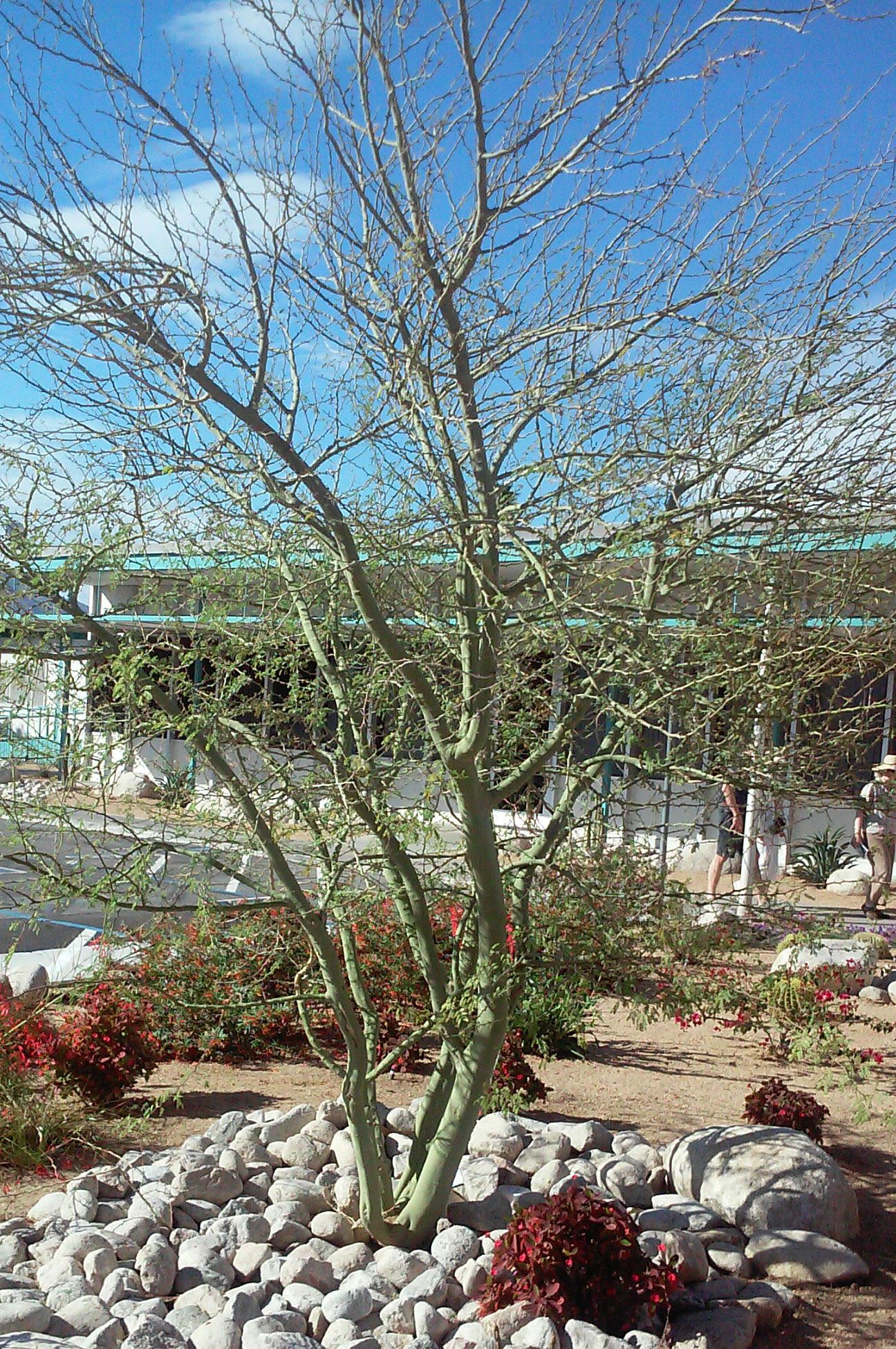 Palo Verde Tree Plantscapers
