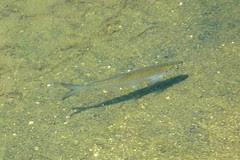 [Un peşte viu în apa Dîmboviţei]