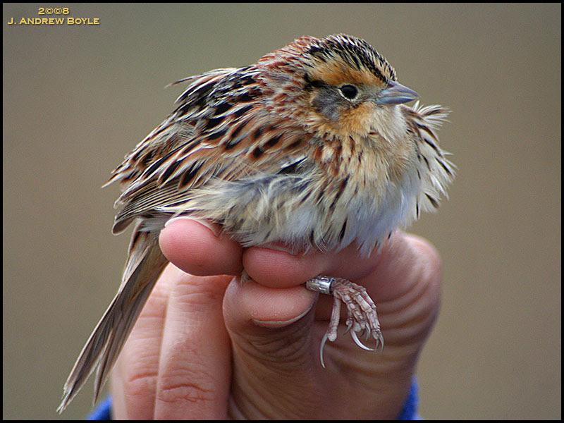 LeConte' Sparrow
