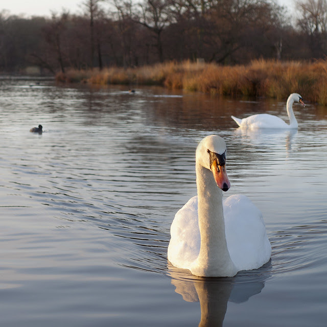 The Swans of Pen Ponds