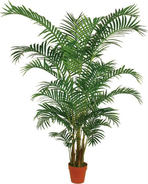 Flores y plantas mallorca howea forsteriana kentia o palma del paraiso - Plantas de interior palmeras ...