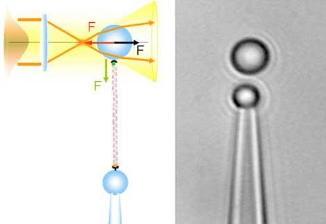 Una sola molécula de ADN entre dos microesferas. | R. Arias-González y S. Hormeño.