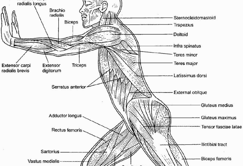35 muscular system diagram worksheet