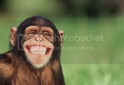 smiling chimp Pictures, Images and Photos