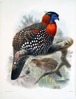 Himachal State bird
