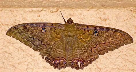 Black Witch Moth   DesertUSA