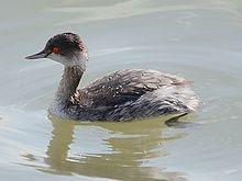 Black-necked Grebe, Grebe