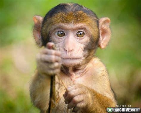 gambar binatang lucu monyet gambargambarco