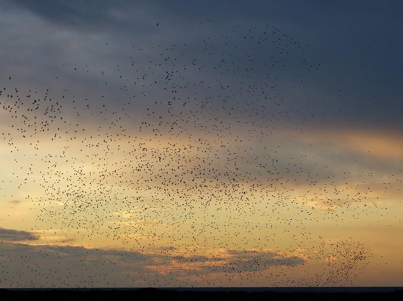 29139 - Starling Murmuration, Aberystwyth Pier