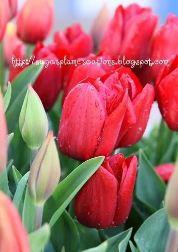 TulipFest W