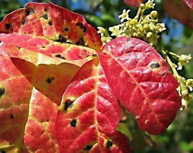 poison oak ivy sumac. Poison oak is a