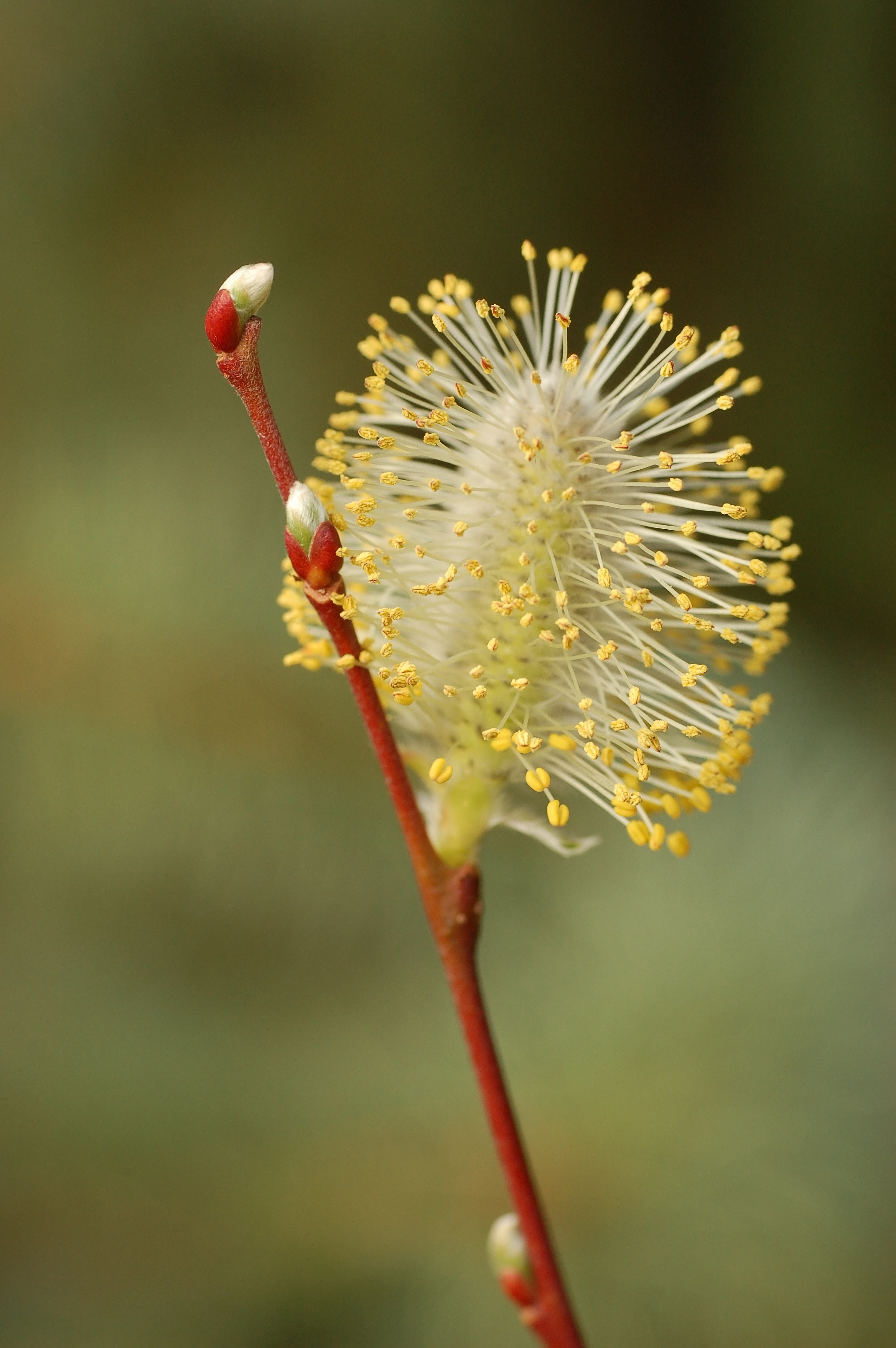 http://upload.wikimedia.org/wikipedia/commons/9/9b/Pussy_Willow_Stem_2000px.jpg