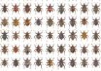 Descobertas 98 novas espécies de besouros em pontos turísticos da Indonésia  (Foto: Alexander Riedel/Divulgação)