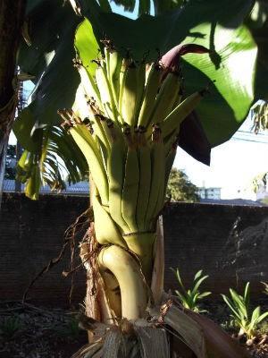Os frutos da bananeira estão em condições normais, de acordo com o fruticultor (Foto: Yoshinobu Inokuma/VC no G1)