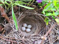 Oregon Junco eggs