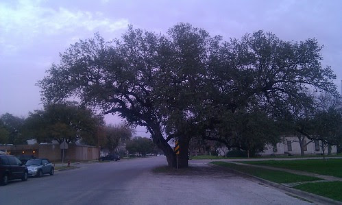 Live Oak tree in the middle of the street