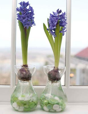 How to Grow Hyacinths Indoors