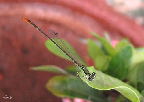 ஊசி தும்பி / Needle dragonfly