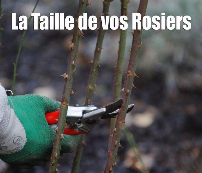 La passion des rosiers la p pini re fil roses comment for Comment tailler un potiron