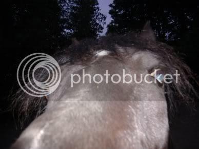 arabian, horse