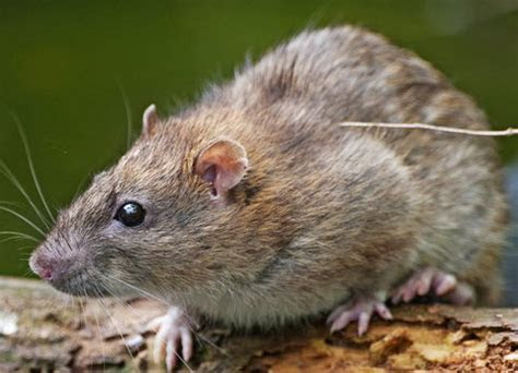 How To Get Rid Of Rats In Garden ? Garden Ftempo
