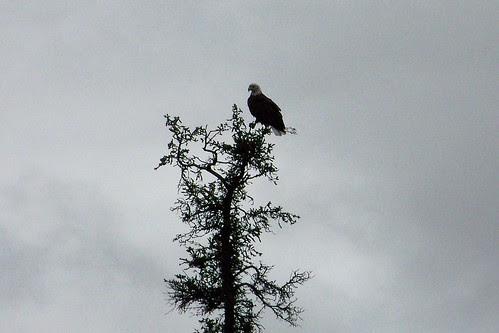 100_0672-Bald Eagle