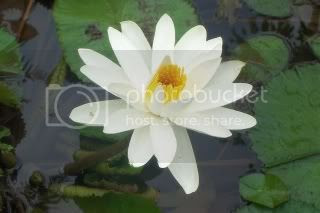 Water Lily-resized