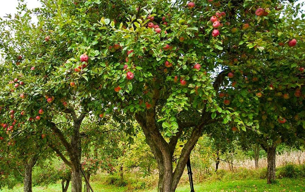gambar sketsa apel dimakan ulat contoh gambar sketsa