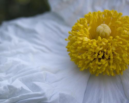 Fried Egg Flower