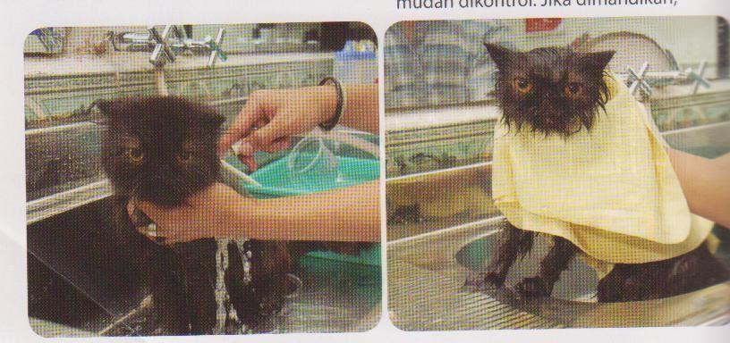 Cara Merawat Bulu Kucing Macam Macam Kucing Dan Keunikannya