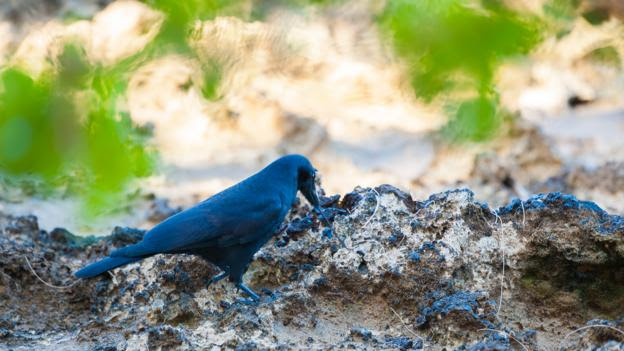 New Caledonian crow (Corvus moneduloides) uses tool to forage (Credit: Roland Seitre/NPL)