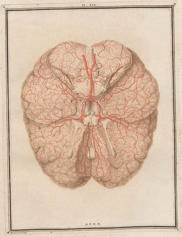 neurosurgical teaching diagram from 18th century : inferior view of brain with arteries highlighted in red