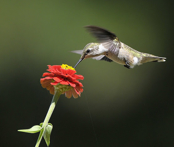 02 Ruby Throated Hummingbird Photography in 20 Examples of Perfectly Timed Animal Photography