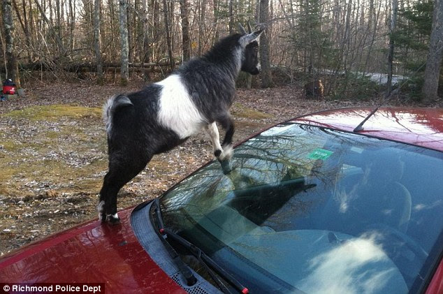 You've got to be kidding! This goat climbed on top of a Ford Focus in Richmond, Maine, and refused to leave