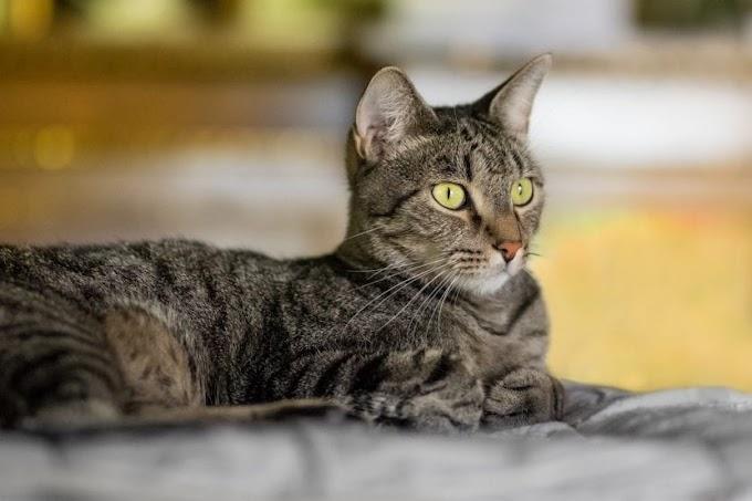 Cómo ayudar a un gato con ansiedad